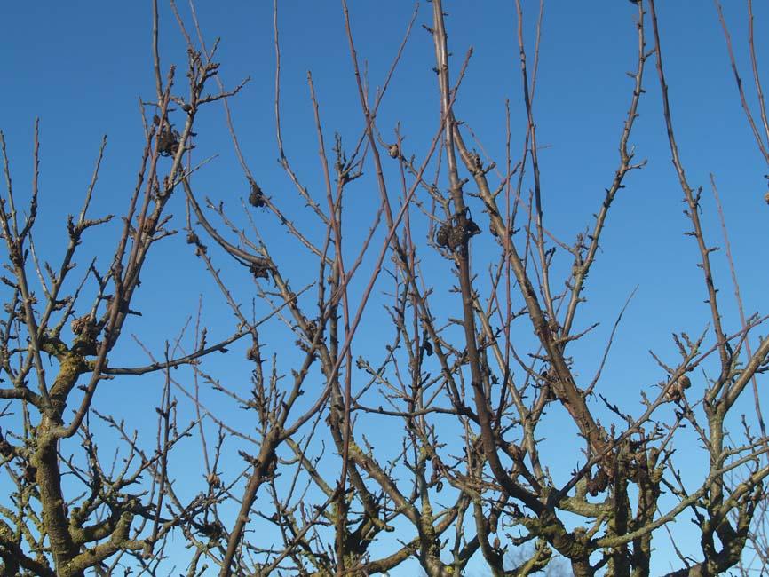 Gul monilia monilia fructigena sclerotinia fructigena