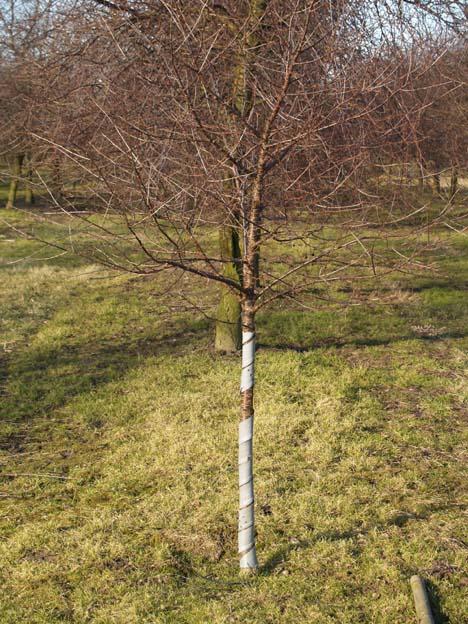 beskyttelse af træer mod rådyr