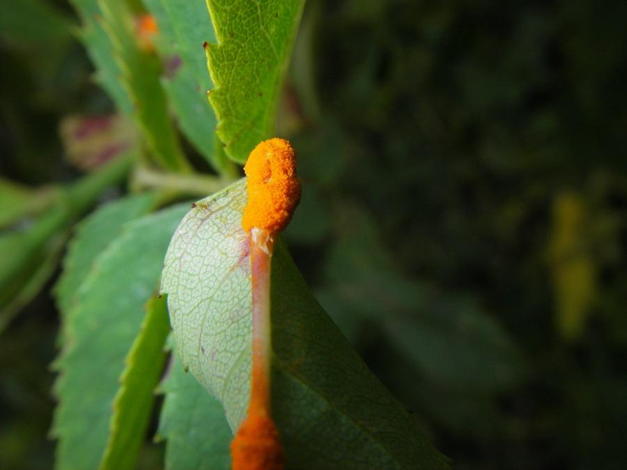 orange pletter på rosenblade